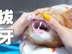 猫皮起来,真能把自己牙撞掉?