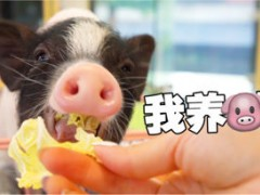 养猫博主去养猪场撸猪,竟被猪拱了!网友:好好的白菜,可惜了
