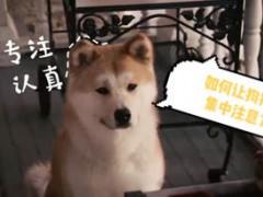 狗狗注意力训练法,解决狗子左顾右盼注意力不集中的问题