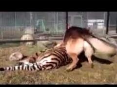 狗狗吃老虎,太搞笑了