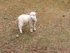 可怜的小羊羔找不到妈妈, 走边走边叫
