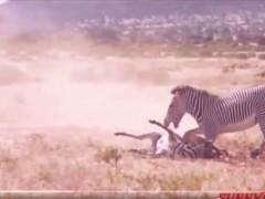 斑马妈妈保护早教机的孩子动物的母爱也情深至极