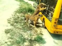 游客开车窗喂老虎,引来老虎长时间扒车不放