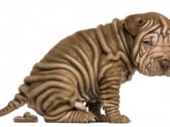 从宠物大便的颜色和形状来判断狗狗的健康状况
