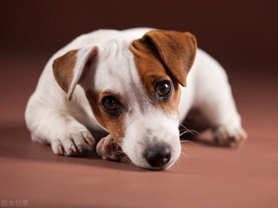 犬传染性肝炎,宠物犬常见疾病科普预防
