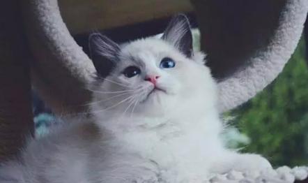 布偶猫吃什么对毛发好? 布偶猫饲养攻略!