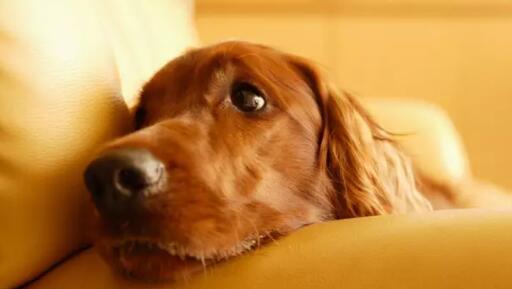 狗狗咳嗽干呕现象需注意,千万别掉以轻心!